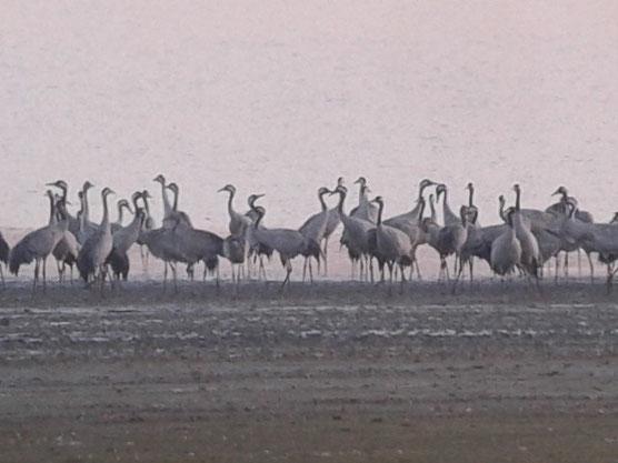 Grues cendrées au Lac du Der ce 18 octobre 2014 (Digiscopie avec smartphone)