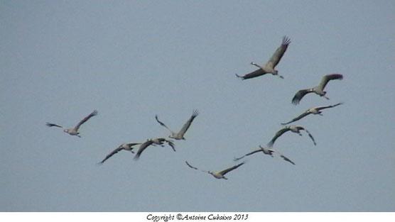 Grues cendrées au Lac du Der le 29 octobre 2013