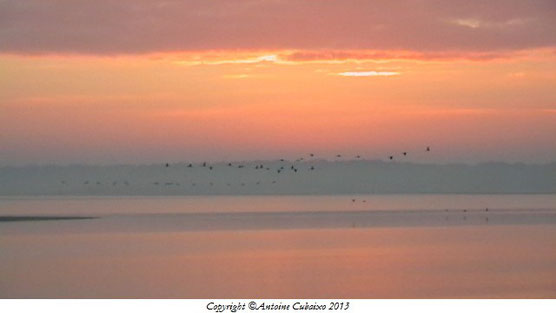 Grue cendrée (Grus grus) au Lac du Der le 1 décembre 2013