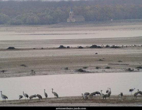 Grues cendrées au Lac du Der le 25 novembre 2015