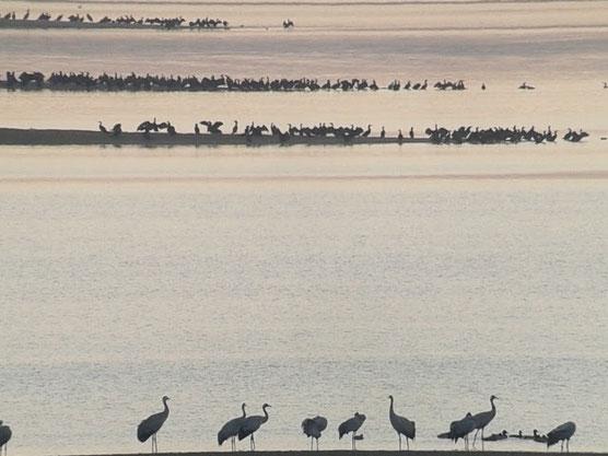Grues cendrées au Lac du Der le 07 novembre 2015