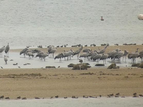 56 Grues cendrées au Lac du Der le 12 septembre 2015