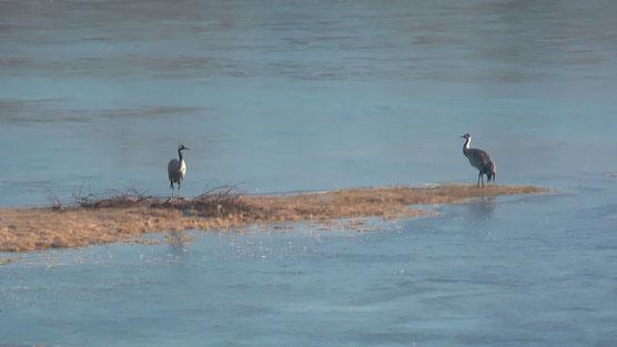 Grue cendrée (Grus grus) sur le Lac du Der  partiellement gelé le 12 février 2015