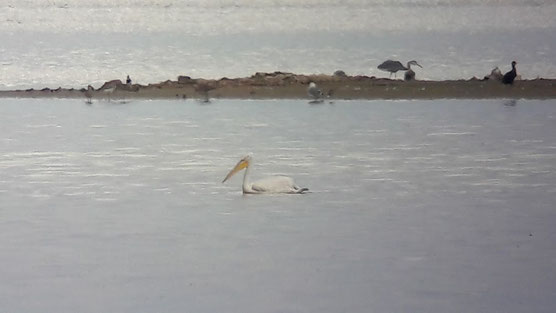 Pélican frisé (Pelecanus crispus) au Lac du Der le 01 septembre 2017