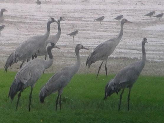 Grues cendrées (Grus grus) au Lac du Der ce dimanche 12 octobre 2014