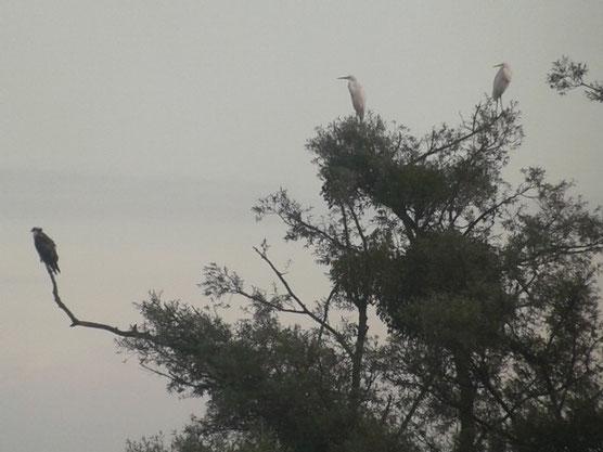 Balbuzard pêcheur (Pandion haliaetus) et Grandes Aigrettes (Ardea alba) au Lac du Der