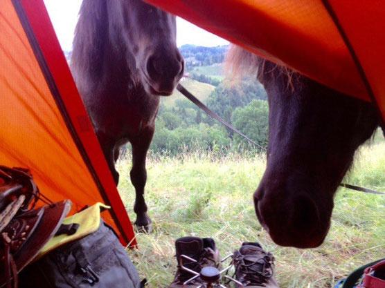 die Ponies vor dem Zelt