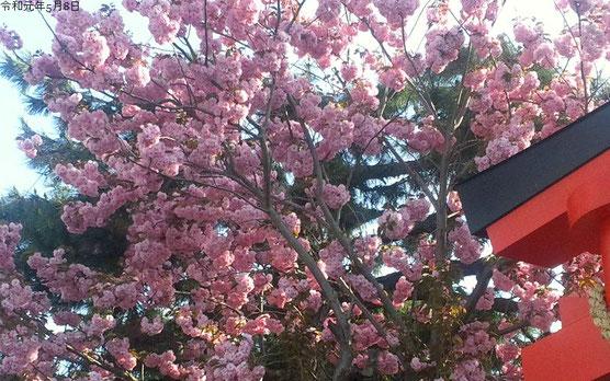 5月8日撮影の八重桜