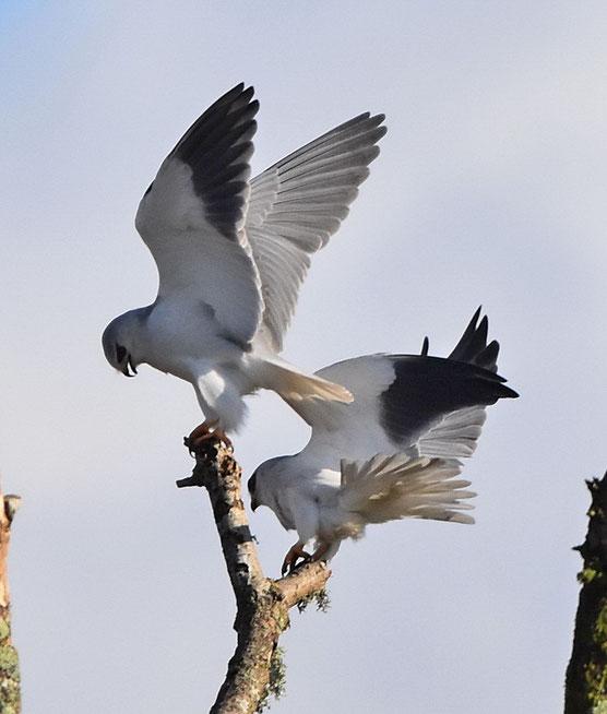 Black Shouldered Kites
