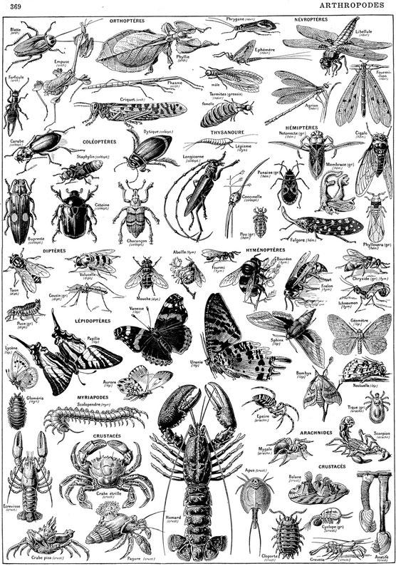 http://en-noir-et-blanc.net/images/tetes-chapitres/Larousse/z-planches-lettrines-cdl/planches-pleine-page/1/arthropodes.jpg