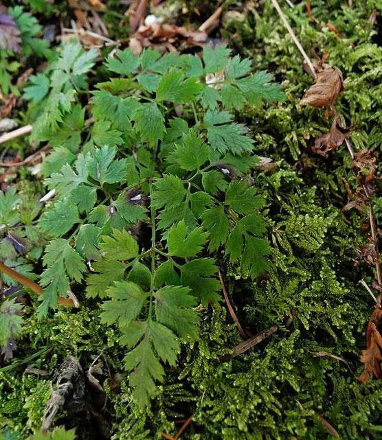 ウスギオウレンの根生葉は3界3出複葉