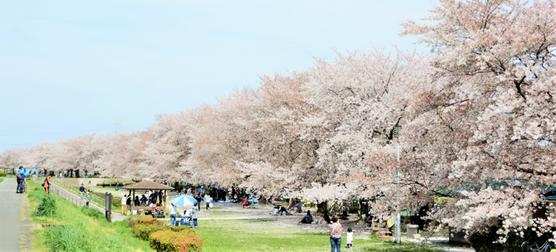 高麗川の桜(2016/4初旬)