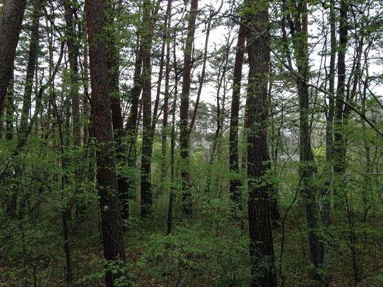 周りの林の灌木にも若葉