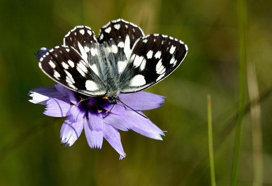_JPM1431-Demi-deuil-Melanargia galathea-Nymphalidae