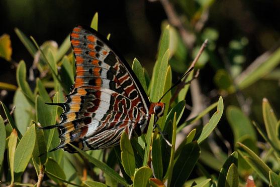 _DSC7395-Charaxes jasius (Le Pacha à deux queues)-Corse
