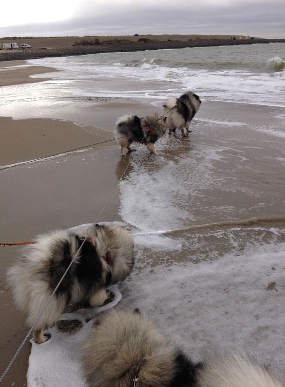 Wolfsspitze / Keeshonde unterwegs am Nordsee Strand in den Niederlanden