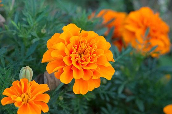 マリーゴールド(オレンジ色)。出典: フリー百科事典『ウィキペディア(Wikipedia)』