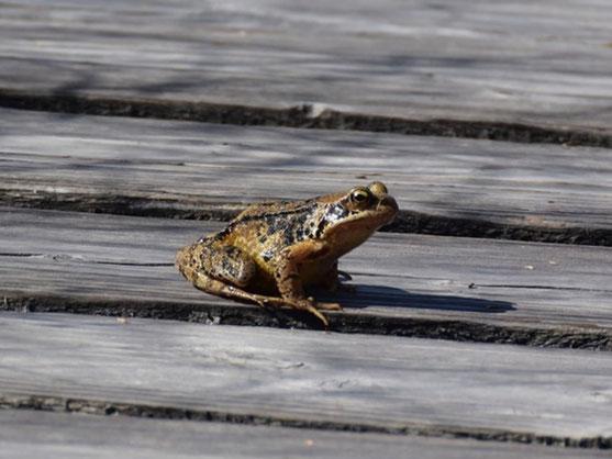 Bei milden und feuchten Temperaturen machen sich die  Amphibien wie auf den Bild der Grasfrosch auf die Wanderung. Foto: Marion Zöller