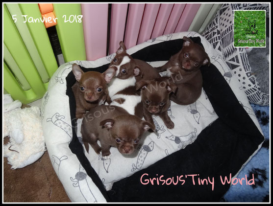 5 chiots Chihuahua chocolat poil court