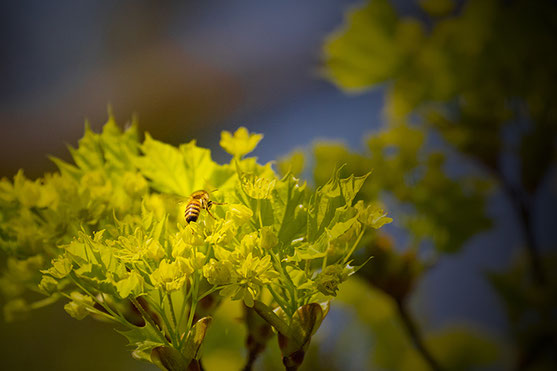 A bee flies between the yellow-green leaves of a tree