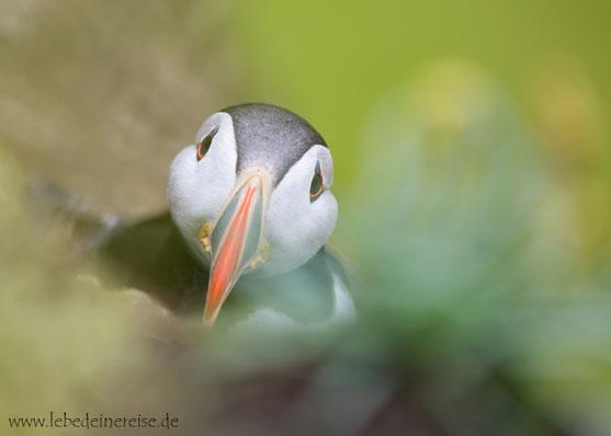 Papageitaucher