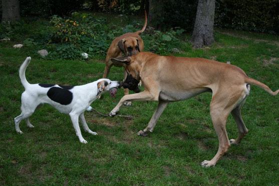 """Milli-Mi spielt im Garten mit ihren """"Doggen-Geschwistern"""""""