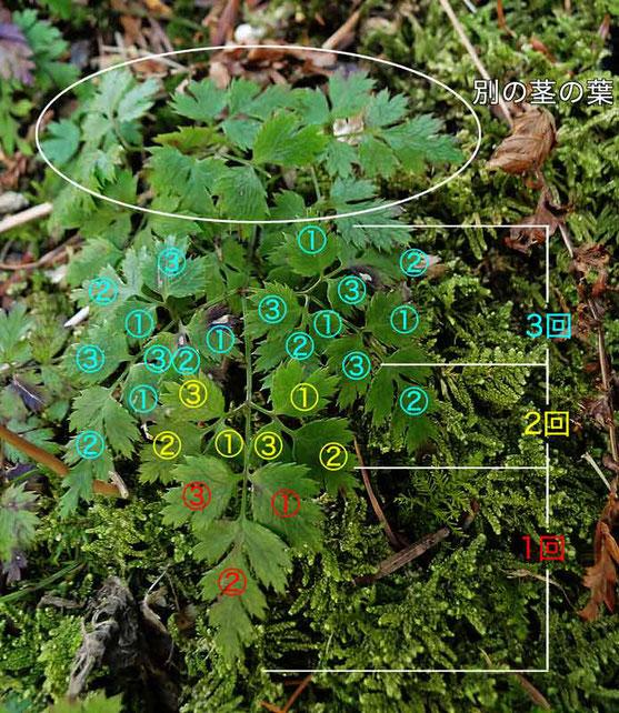 ウスギオウレンの根生葉は3界3出複葉(説明表示)