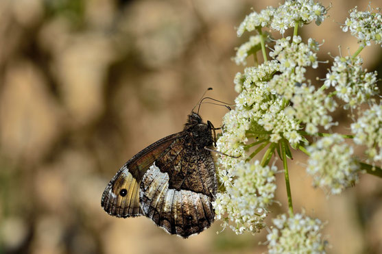 _JPM1475-Le Grand Sylvandre-Hipparchia fagi Scop- Nymphalidae