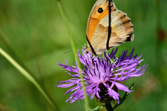 _JPM1609-Le Fadet commun-Coenonympha pamphilus-Nymphalidae