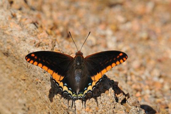 _DSC7393_Le Pacha à deux queues-Charaxes jasius-Nymphalidae-Corse