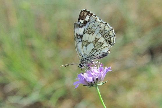 _DSC6313_Demi-deuil-Melanargia galathea-Nymphalidae
