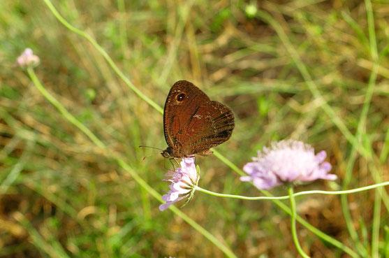 _DSC6311_Moiré des fétuques-Erebia meolans-Piedmont Ringlet-Nymphalidaea