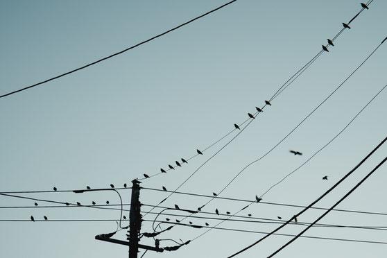 市街地の電線に集結するムクドリ