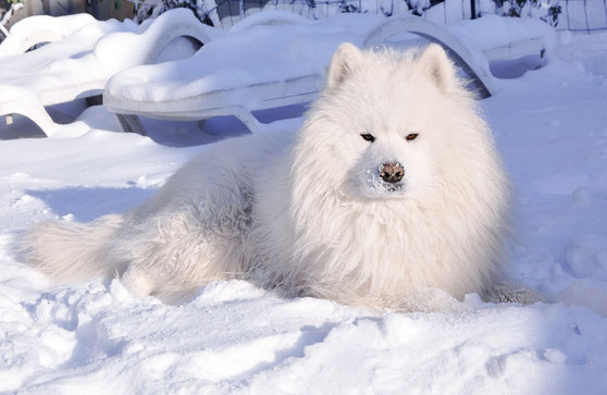 самоедская собака Леон