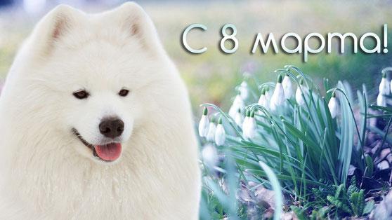 самоед с 8 марта открытка