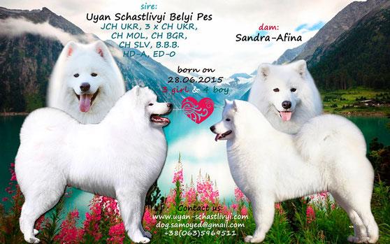 анонс помета щенков самоеда от Буяна и Сандры