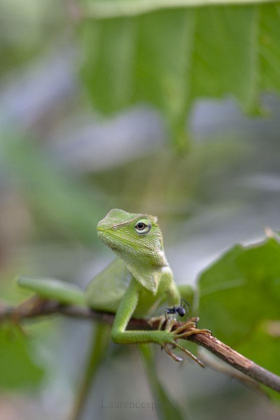 Iguane Balinais dans la forêt tropicale