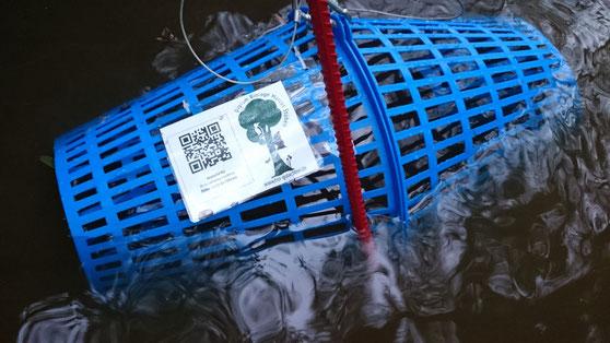 Flusskrebsreuse zum Lebendnachweis vor dem Versenken auf den Grund eines Baches.