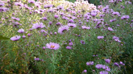 Herbstastern sind eine wahrer Treffpunkt friedlicher Eintracht - egal ob Bienen oder Schmetterlinge
