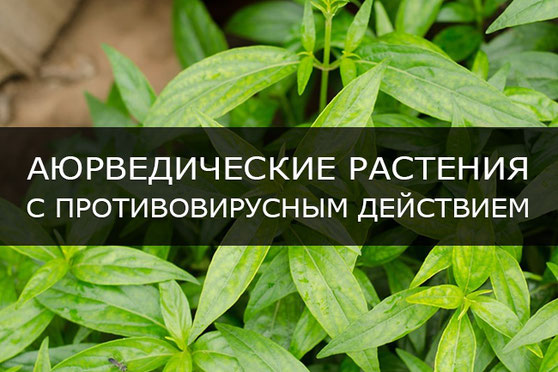 Аюрведические растения с противовирусным действием
