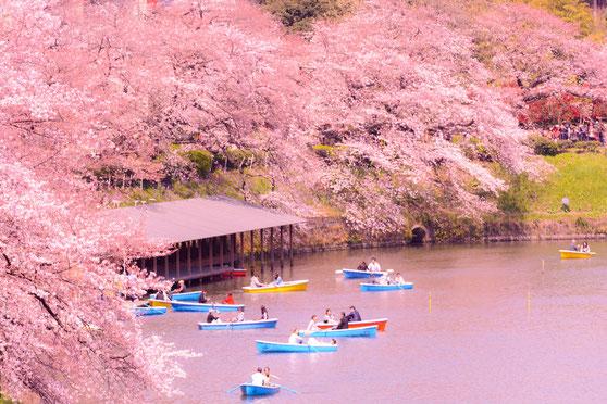 櫻花很美,可是西生菜葉也不錯(Flickr:Yoshikazu TAKADA)