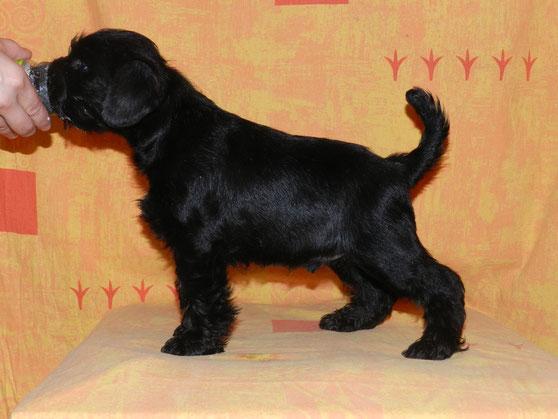 щенок цвергшнауцера черного окраса