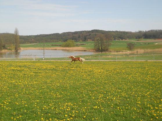 Pferdekoppel mit gelben Blumen und einem galoppierenden Pferd