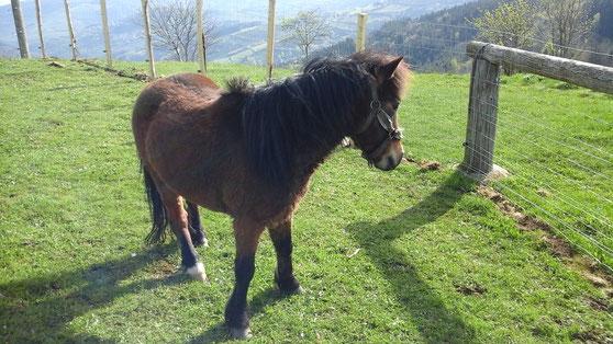Poneys, cheval