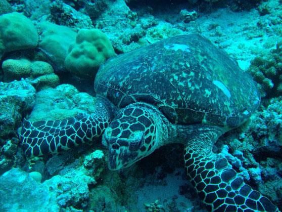 与論島 海 ウミガメ ダイビング