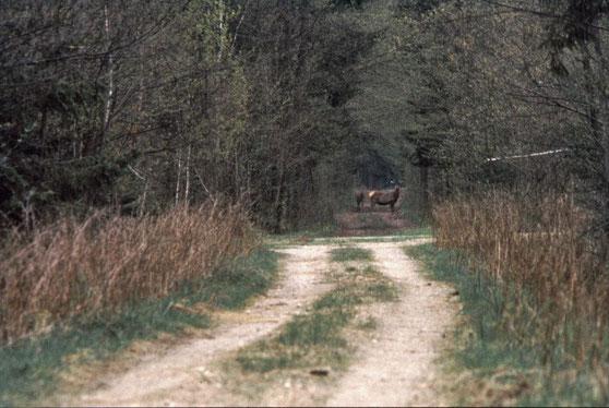 forêt de Białowieża, Cerfs et biches