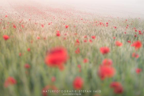 Mohnfeld im Nebel Stefan Imig