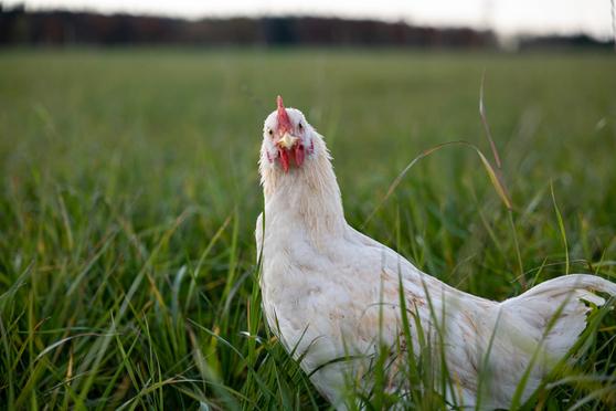 Huhn und Hahn über die Aufzucht der Hähne