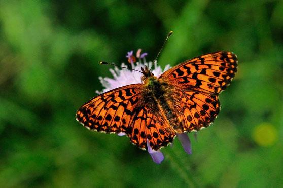 _DSC5797_Le petit collier argenté-Nacré-Clossiana selene-Nymphalidae
