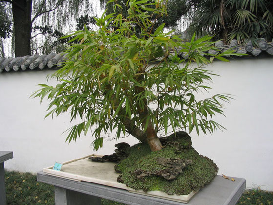"61MR ""Bamboo bonsai Chengdu"" by Felix Andrews (Floybix) - स्वतःचे काम. Licensed under CC BY-SA 3.0 via Wikimedia Commons - https://commons.wikimedia.org/wiki/File:Bamboo_bonsai_Chengdu.jpg#/media/File:Bamboo_bonsai_Chengdu.jpg"